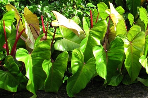 Big green leaves of the Philodendrons plant