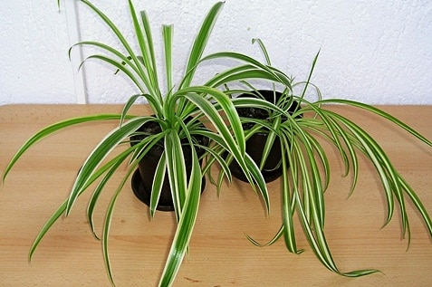 Two spider plants with a long and thin leaves