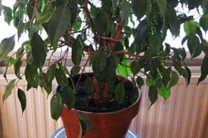 HealthyWeeping fig placed near the window