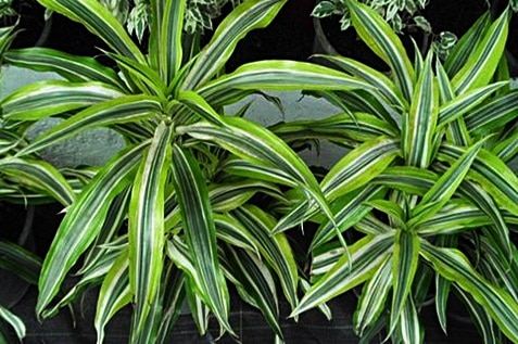 Glossy long leaves of the Dracaena deremensis plant