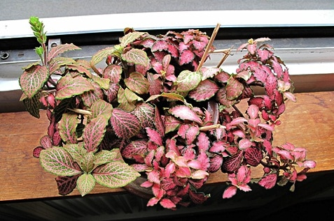 The red variety of Fittonia plant