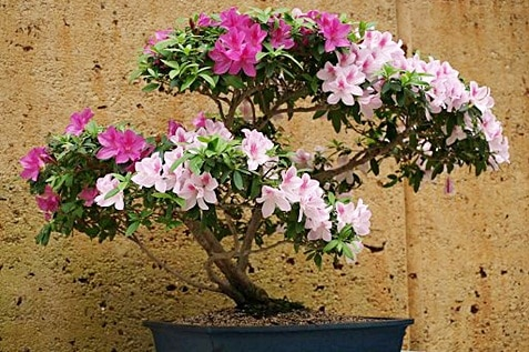 Azalea as a bonsai perfect for offices and workplaces