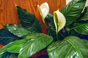 Two beautiful Peace Lily