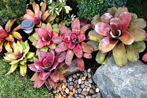 Variety of Bromeliads from different sizes