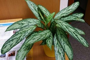 Chinese Evergreen in a yellow pot