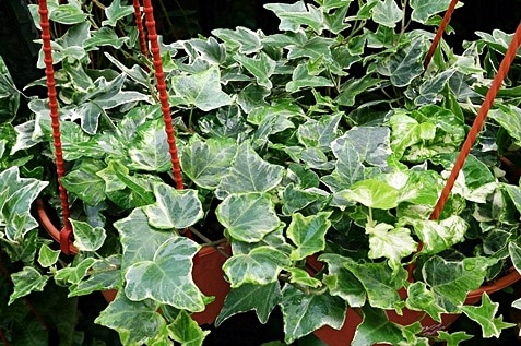 Hanged English Ivy plants