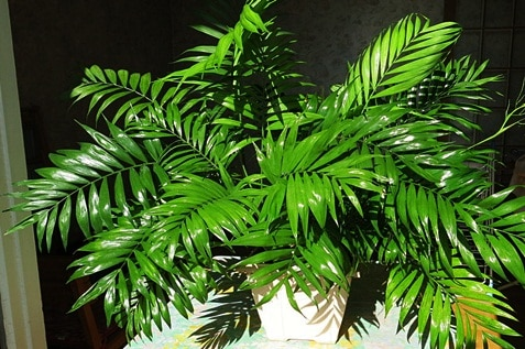Therapeutic green leaves of the Parlor Palm plant