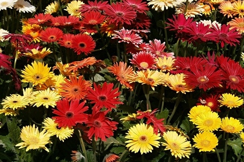 Different colours of Gerber Daisy flowers