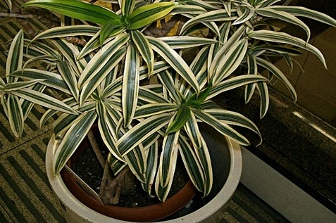Dracaena reflexa plant has a green leaves outlined with white
