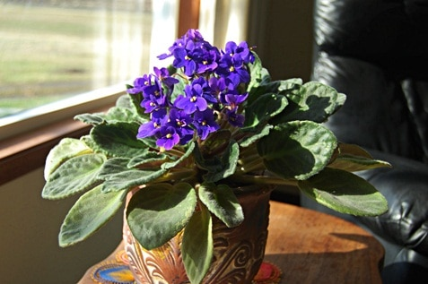 A bunch of African Violets
