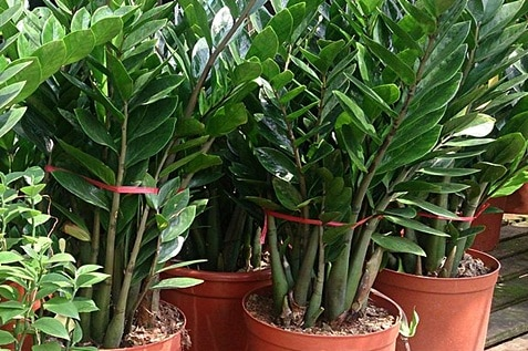 Zamioculcas zamiifolia were planted on big pots